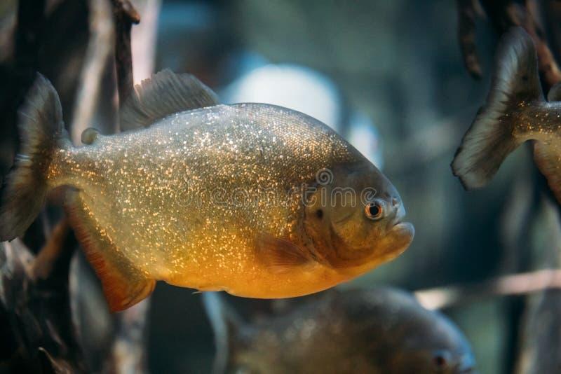 Red-bellied Piranha Or Red Piranha Fish Pygocentrus Nattereri Sw. Imming In Water. Popular Aquarium Fish stock images