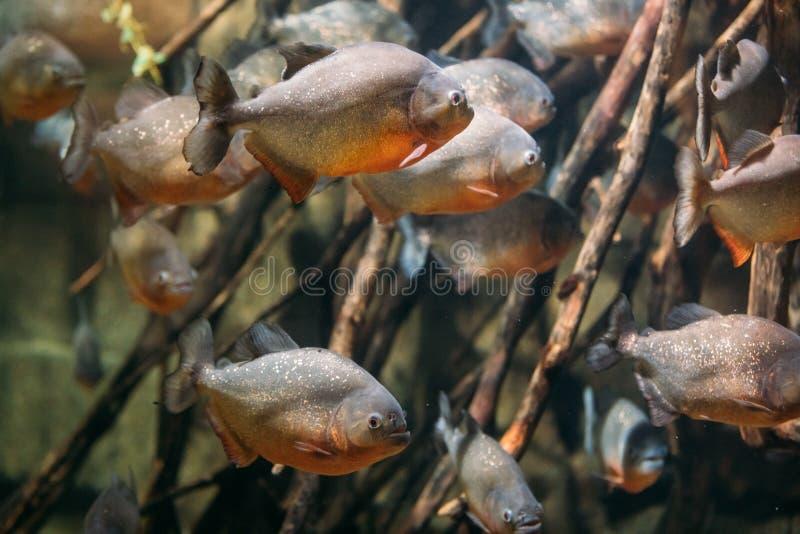 Red-bellied Piranha Or Red Piranha Fish Pygocentrus Nattereri Sw. Imming In Water. Popular Aquarium Fish royalty free stock photo