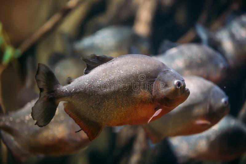 Red-bellied Piranha Or Red Piranha Fish Pygocentrus Nattereri Swimming In Water. Popular Aquarium Fish stock photography