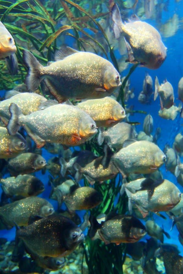 Red bellied piranha school swimming underwater (Serrasalmus nattereri ). Red bellied piranha school swimming underwater ( Serrasalmus nattereri royalty free stock photos