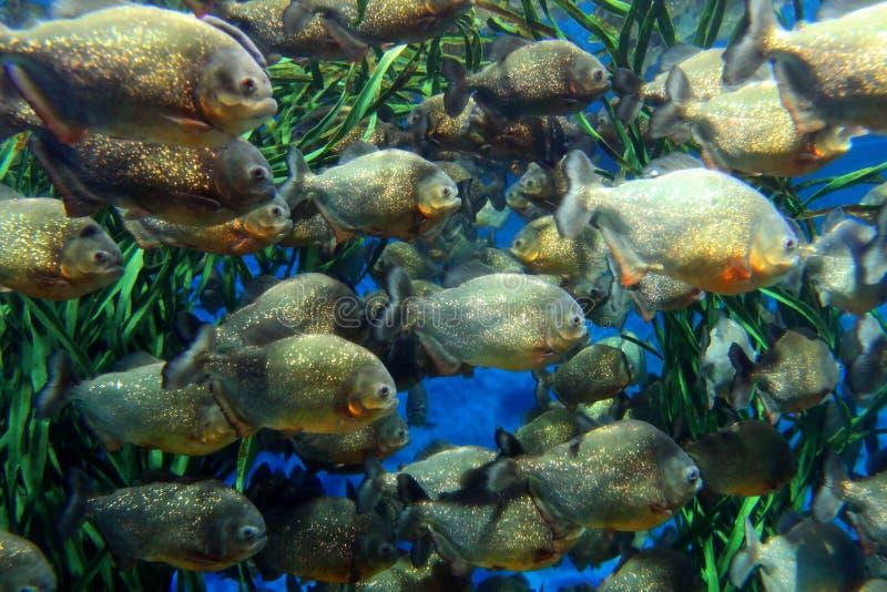 Red bellied piranha (Serrasalmus nattereri ). Stock image of Red bellied piranha school swimming underwater. ( Serrasalmus nattereri stock images