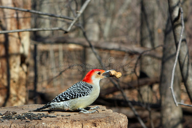 Red-bellied Woodpecker stock images