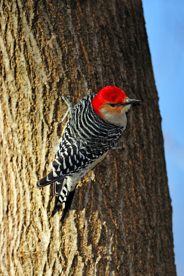 Download Red-Bellied Woodpecker Stock Photography - Image: 19012012