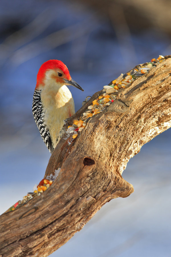 Red bellied woodpecker royalty free stock images