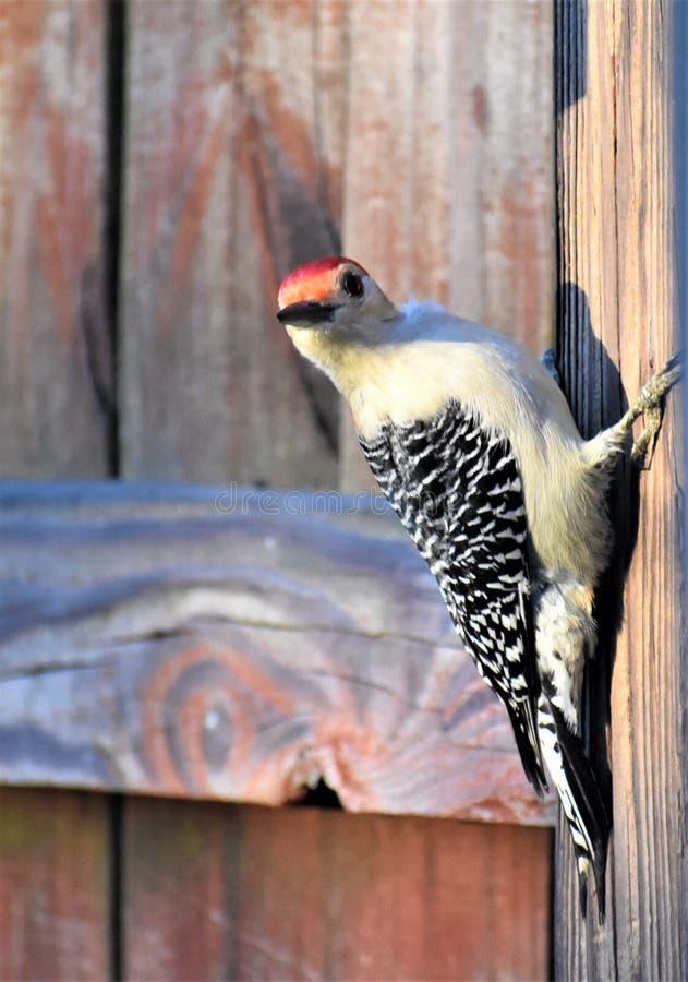 Red Bellied Woodpecker on fence post, Nashville Tennessee. A male red bellied woodpecker, Melanerpes carolinus, sitting on a backyard fence post in Nashville royalty free stock photos