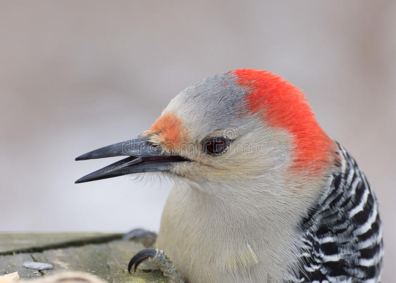 Red-bellied Woodpecker Head Shot royalty free stock photography