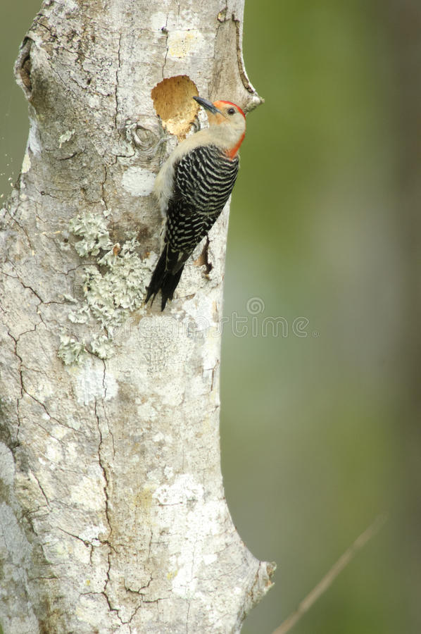 Red-bellied Woodpecker (Melanerpes carolinas). At a nest hole, Arthur J Marshall National Wildlife Reserve - Loxahatchee, Florida, USA royalty free stock photo