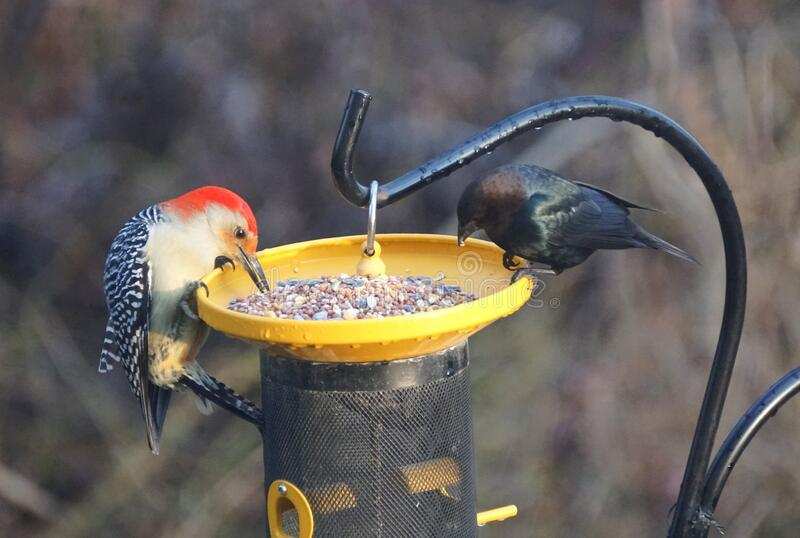 A red-bellied woodpecker is sharing bird seeds with a grackle royalty free stock photography