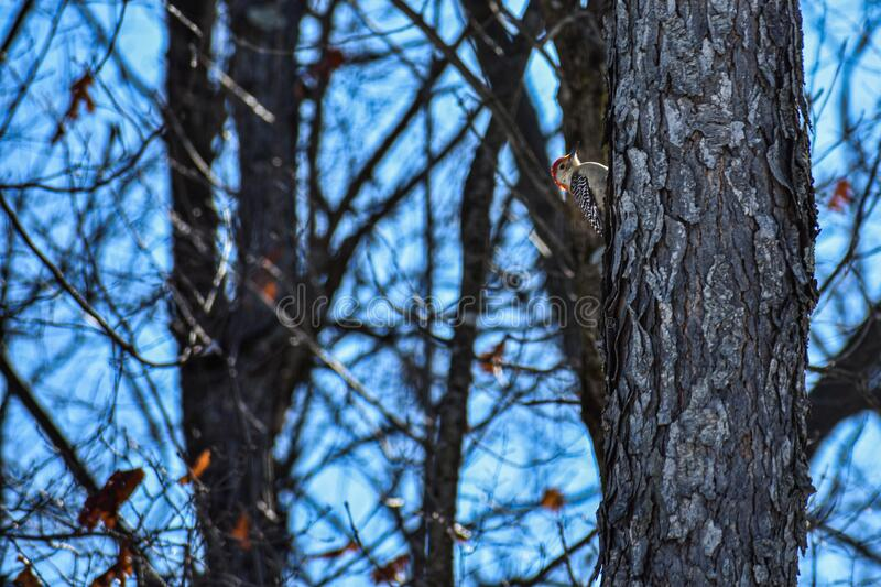 Red Bellied Woodpecker on Trees. A red bellied woodpecker on a tree. Blue sky seen through the leafless winter trees. Few dry leaves clinging to the branches royalty free stock photo