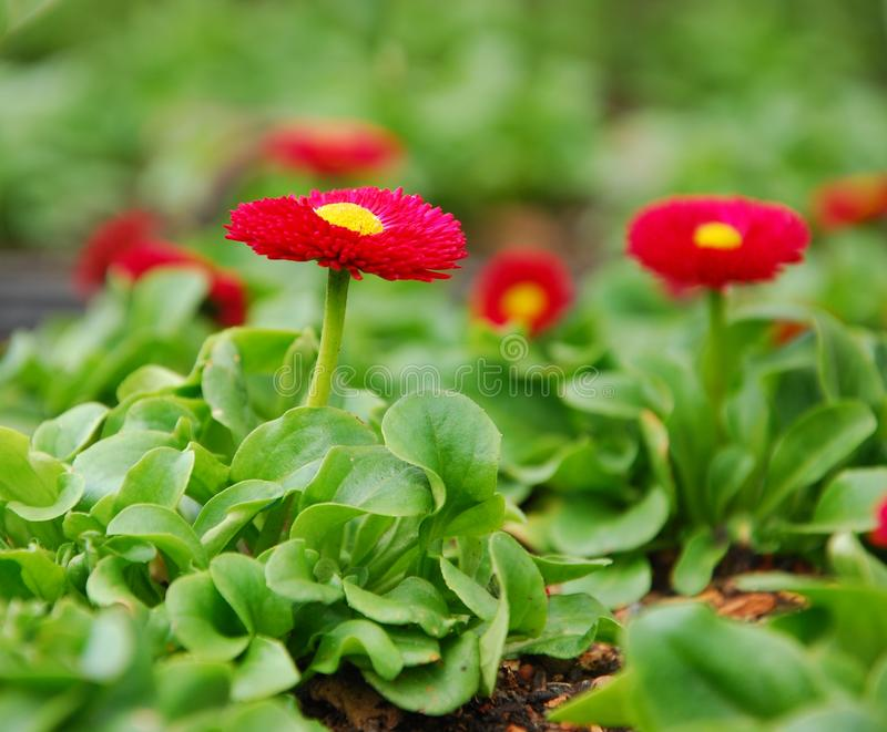Red bellis royalty free stock photography