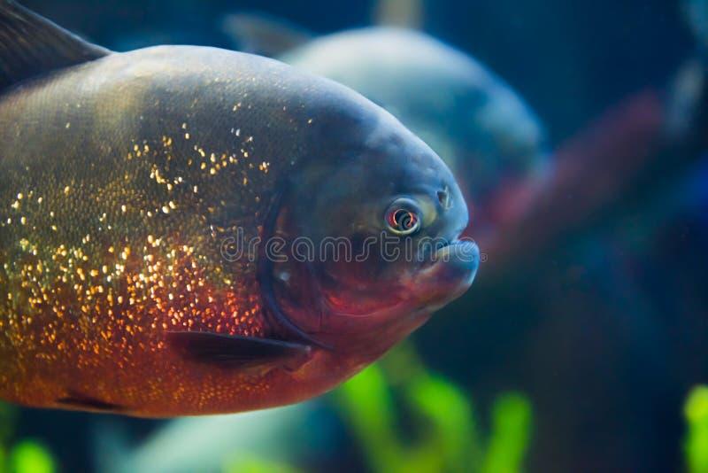 Red bellied piranha, Pygocentrus nattereri. The red belly piranha, also known as the red piranha Pygocentrus nattereri, is a species of piranha native to South royalty free stock photos