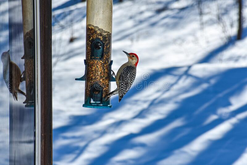 A Red Belly Woodpecker on a Feeder. A red bellied woodpecker on a bird feeder enjoying a meal. Reflection of it in the window of a gazebo. Black and white royalty free stock images