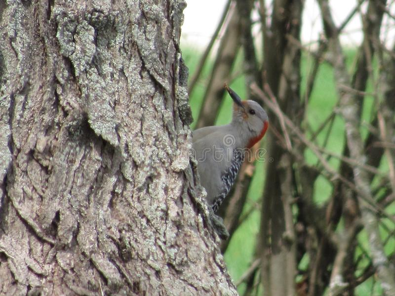 Red Belly Woodpecker. Pecking at the tree stock photo