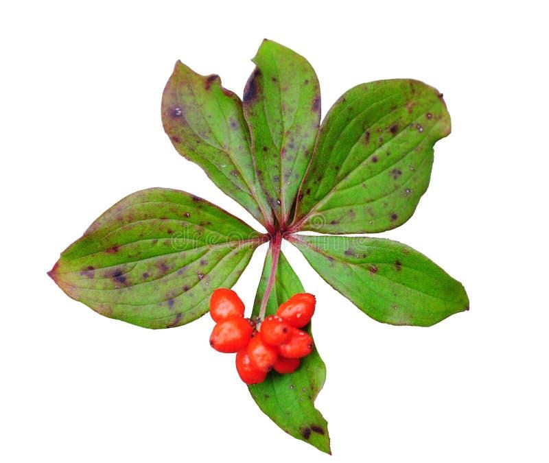 Red Berries stock photos