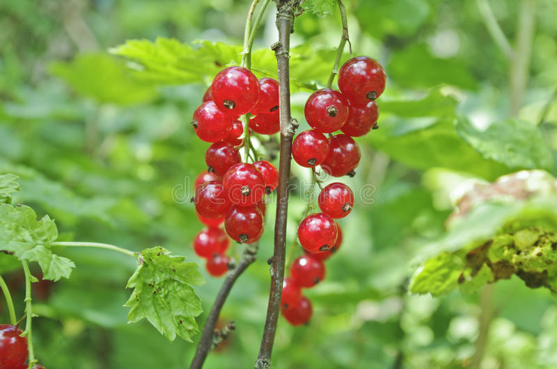 Download Red berries stock photo. Image of shrub, closeup, herb - 26145088