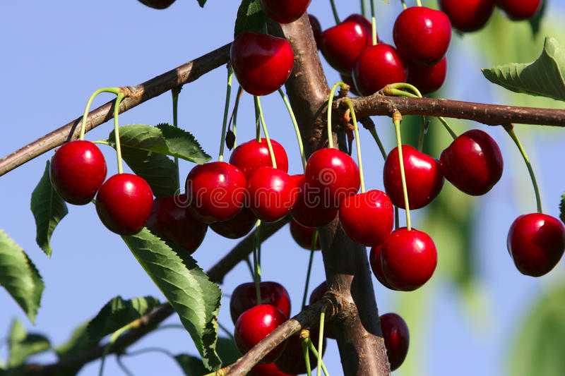 Red berries stock image