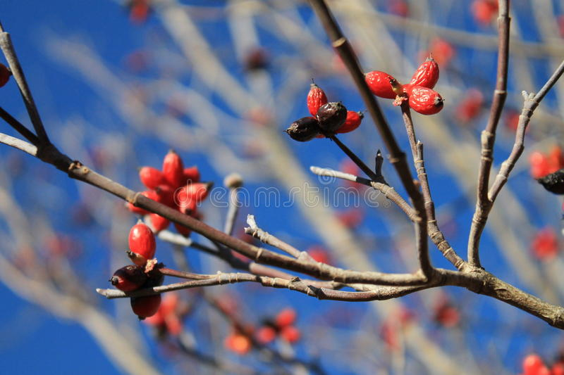 Red berries against blue sky 2 stock image