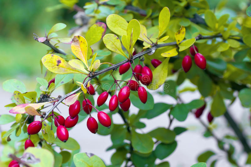 Red berries of barberry stock photos
