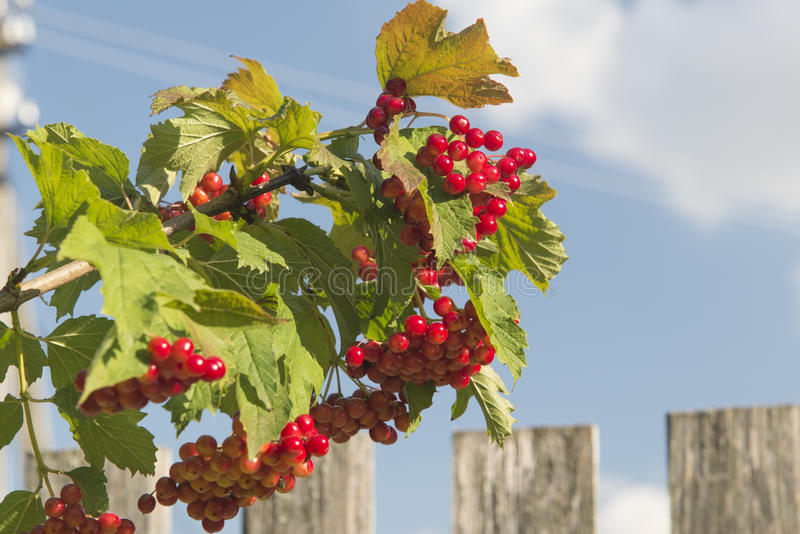 Red berries royalty free stock images