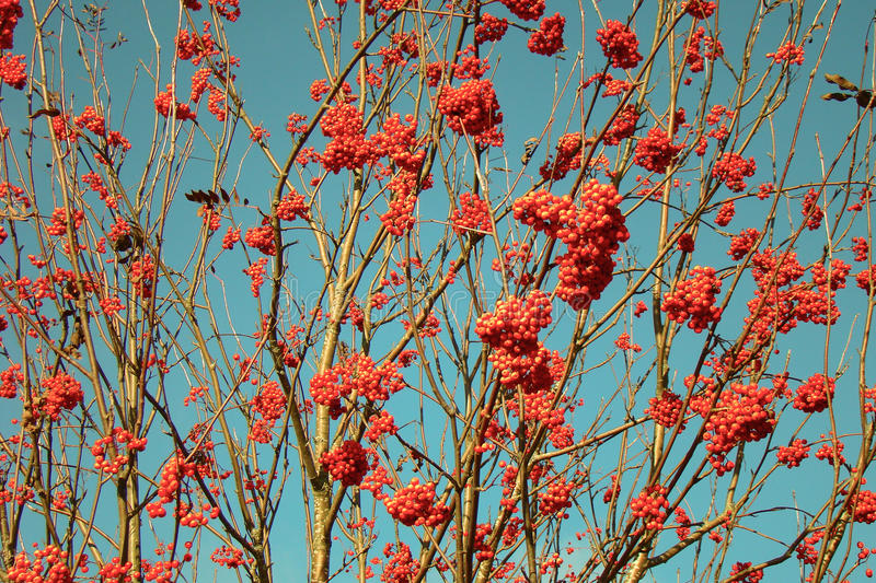 Red berries. Bright red fruits of mountain ash on a background of blue sky stock photo