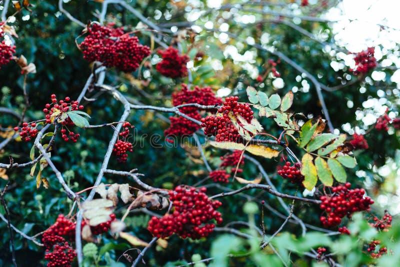 Red berries bush royalty free stock image