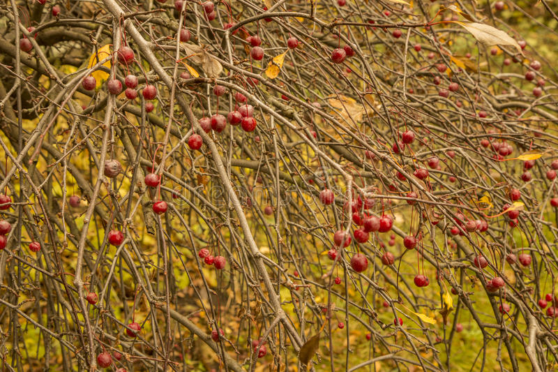 Red berries on bush in autumn park. Red berries on a bush in autumn park. A beautiful close-up stock photo