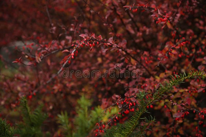 Red berries on a bush of barberry in the wild. Forest autumn stock images