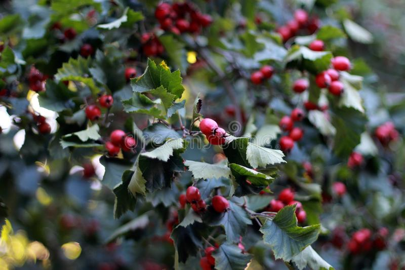 The red berries on the Bush . the fruits are berries on the tree.  royalty free stock photos