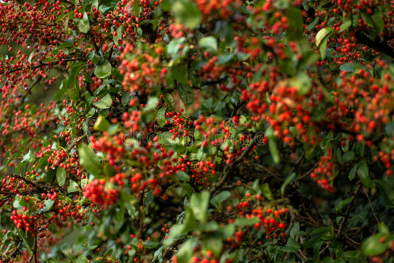 Red berries bush. Low DOF red berries bush with green leaves shot on a cloud covered afternoon with water droplets dripping after rain royalty free stock photos