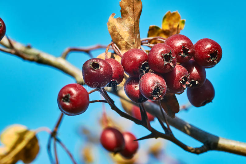 Red berries on a bush Swedish mountain ash. In the autumn in Poland stock photography