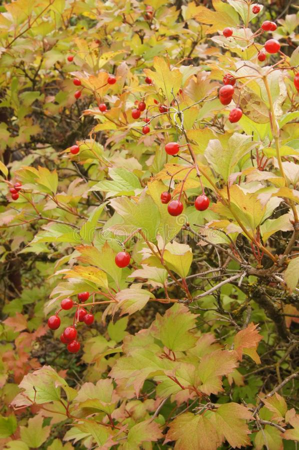 Red berries on a bush of viburnum. Yellowed leaves, end of summer, Augus tbranches stock photo