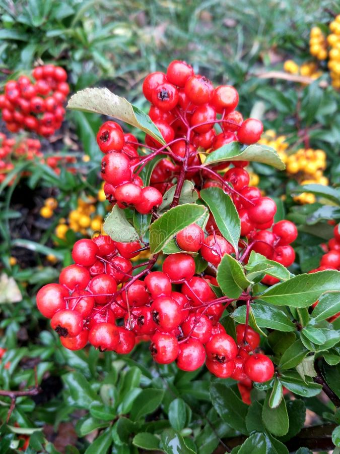 red berries on a bush royalty free stock image