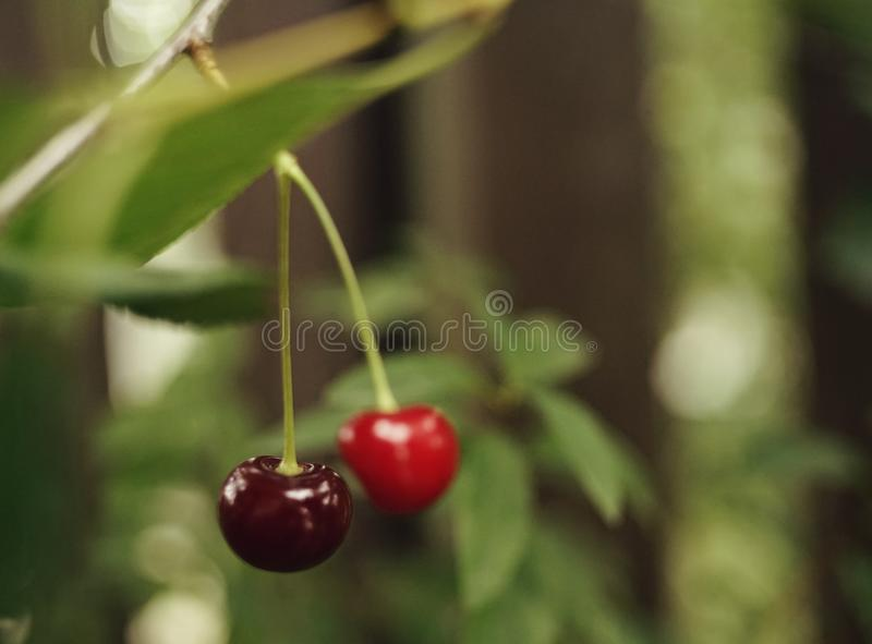 red berries close-up cherry bokeh background outdoor garden royalty free stock image