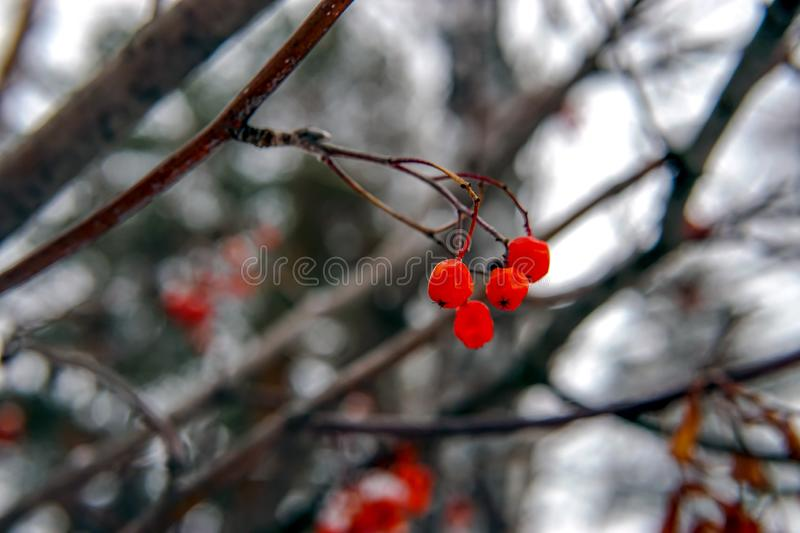 Red berries covered by rime frost royalty free stock photography