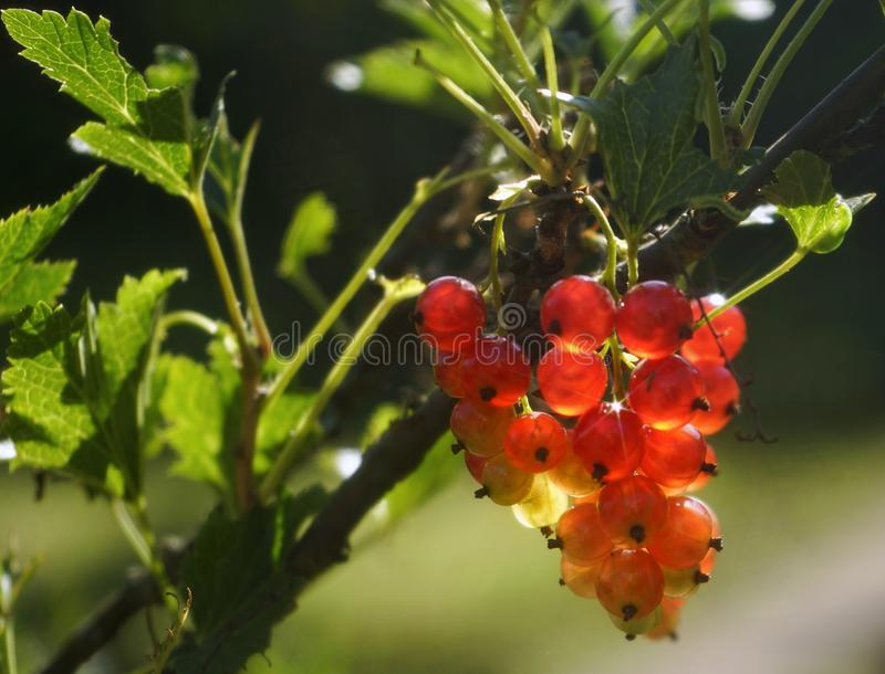 Red berries currant green leaf close-up sweet food outdoor garden bush. Red berries currant green leaf bokeh background outdoor garden macro summer sunlight royalty free stock photos
