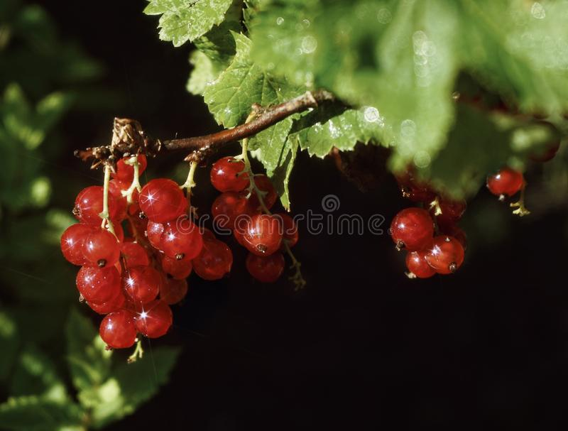 Red berries currant green leaf close-up sweet food outdoor garden day sunlight glitter. Red currant closeup sweet berries garden bokeh background summer plant royalty free stock images