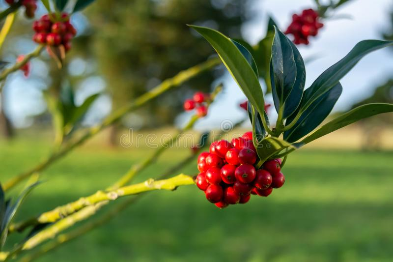 Red Berries in English Countryside. On Blurred Background, autumn, beautiful, berry, branch, bright, bush, closeup, flora, foliage, forest, fresh, fruit, garden stock photos