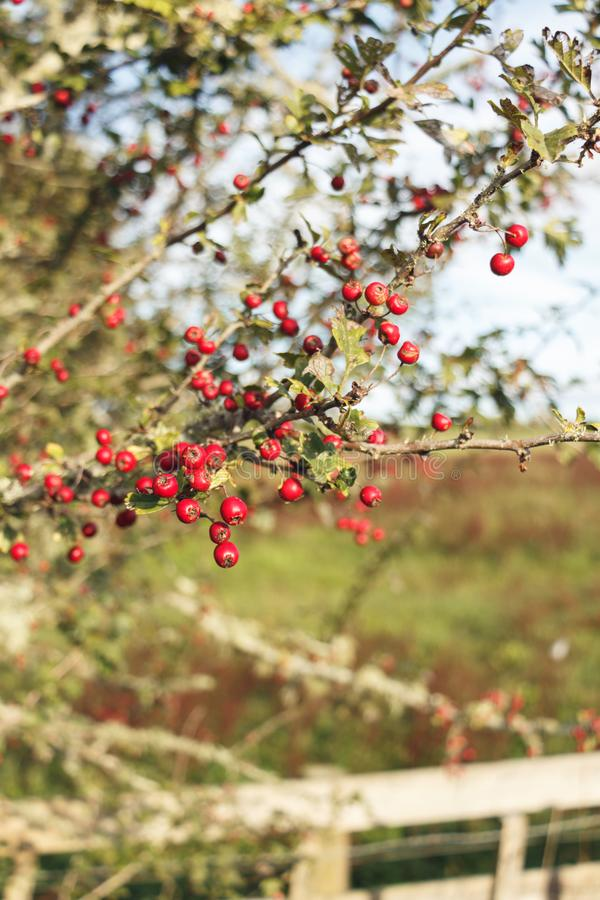 Red berries on a farm NZ royalty free stock images