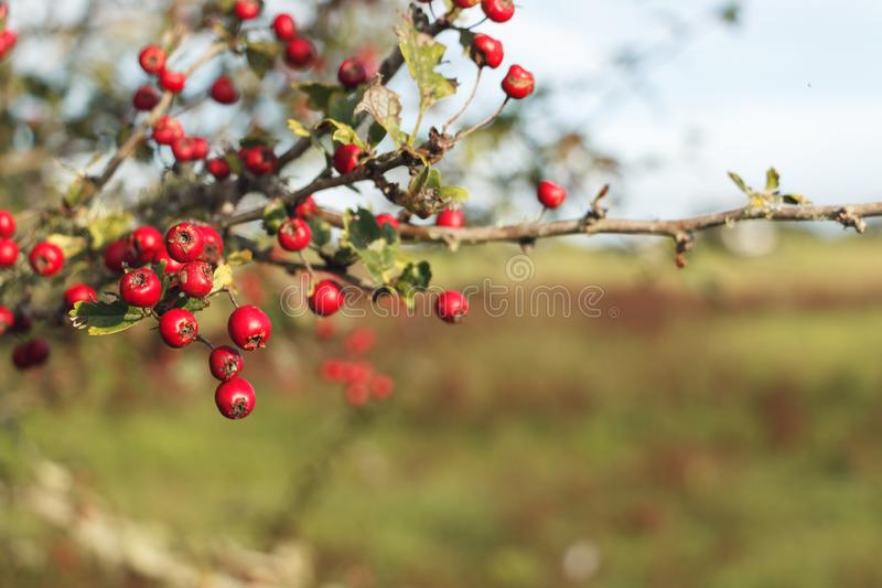 Red berries on a farm NZ stock photo