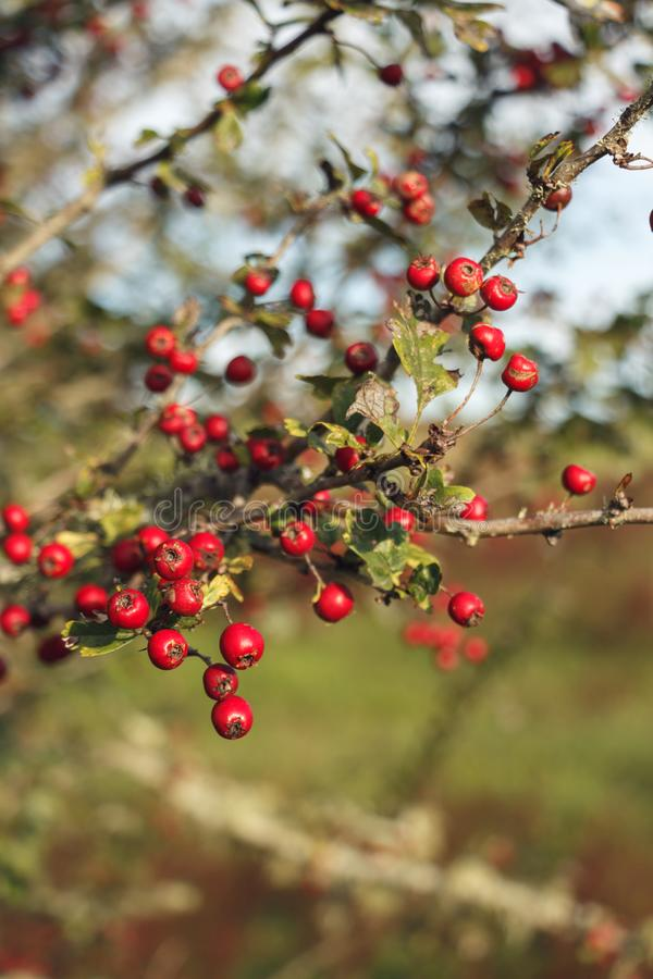 Red berries on a farm NZ royalty free stock photography