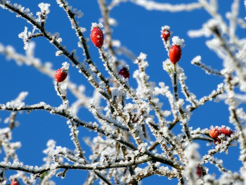 Red berries on frozen hawthorn tree royalty free stock images
