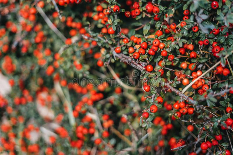 Red berries on green bush royalty free stock image