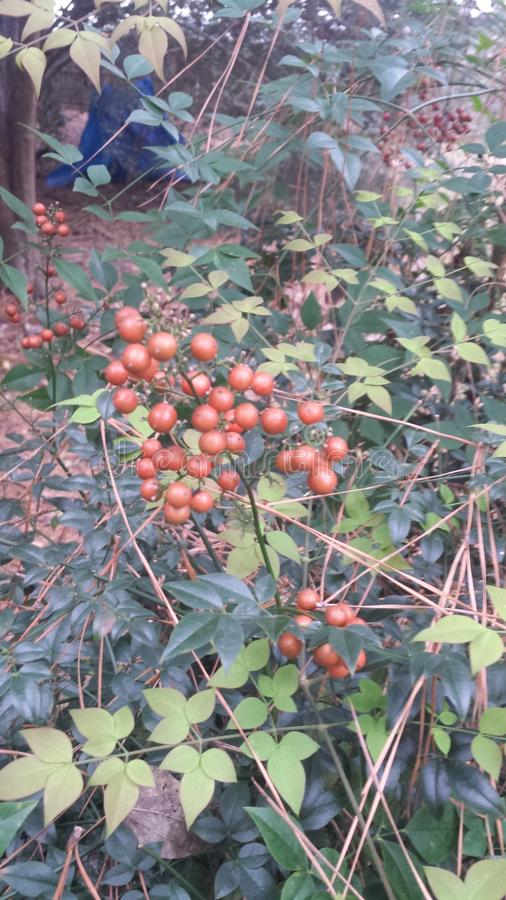 red berries on a green bush in the forest royalty free stock photo