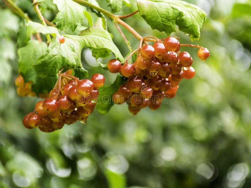 ,red berries in a green bush stock photo