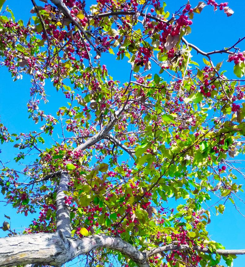Red berries, green leaves, blue sky, tree royalty free stock photography