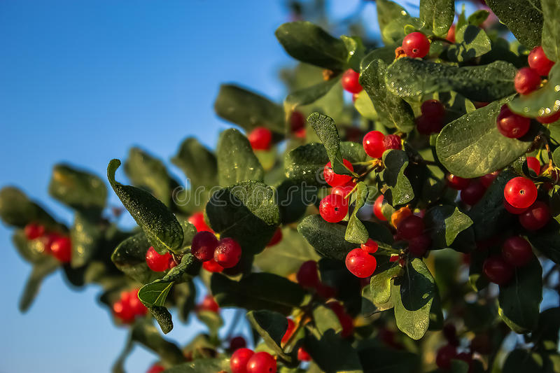 Red Berries on Green royalty free stock image