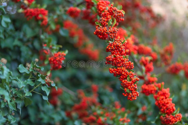 Red berries with green leaves. Nature blurred background. Shallow depth of field. Toned image royalty free stock photography