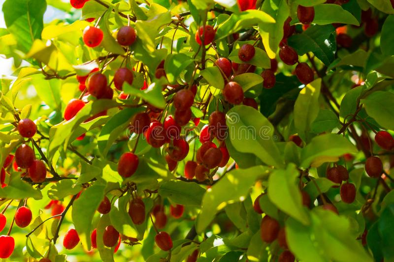 Red berries growing in a garden. Silverberry, Japanese Silverberry, gumi. Red berries growing in a garden. Silverberry Oleaster, Japanese Silverberry, gumi royalty free stock photo