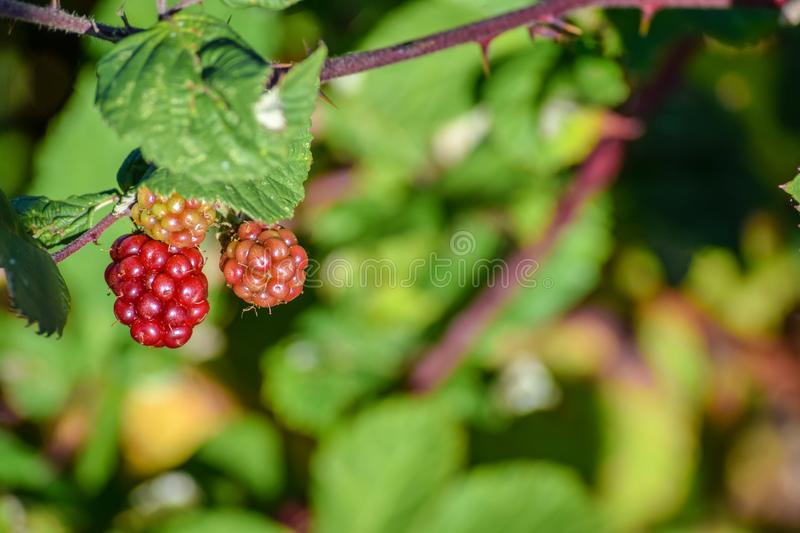 Red berries growing wild hanging from a tree royalty free stock photos