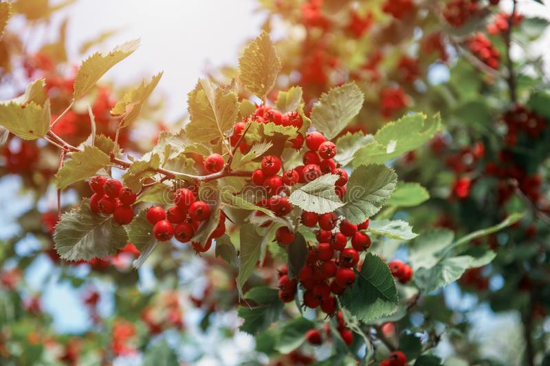 Red berries of hawthorn stock photography